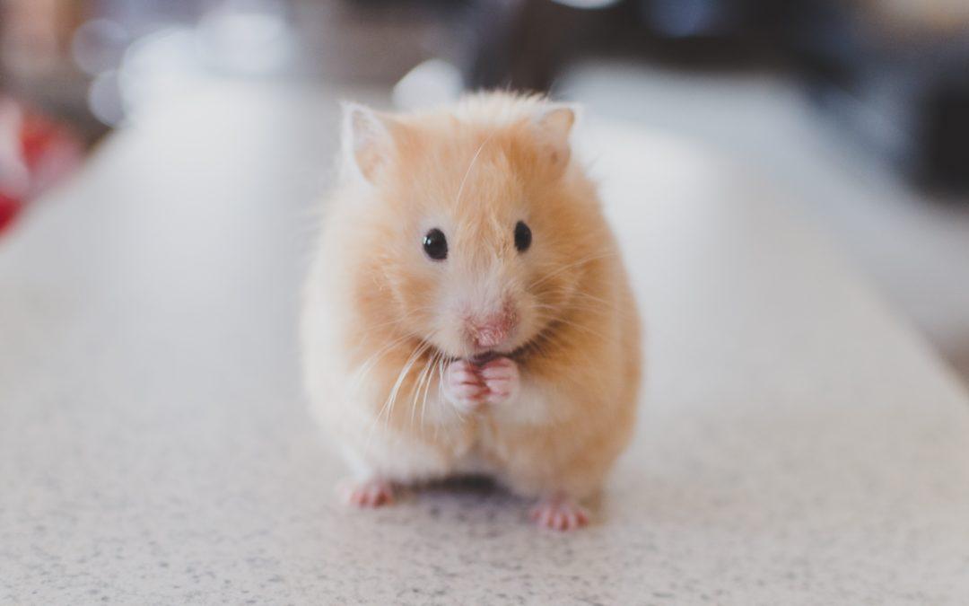 Le petit hamster…